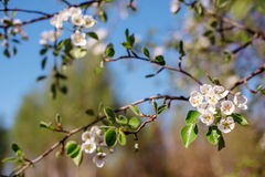 Árbol floreciente en el jardín de la primavera Foto de archivo libre de regalías