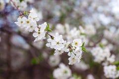 Árbol floreciente en el jardín de la primavera Imagen de archivo