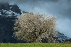 Árbol floreciente en el valle de Grindelwald, Suiza Foto de archivo