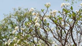 Árbol floreciente en jardín oriental Árbol hermoso del plumeria que florece con las flores blancas en jardín tradicional contra almacen de metraje de vídeo