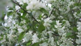 Árbol floreciente en la estación de primavera, cierre para arriba para las flores blancas en la rama de árbol Cantidad com almacen de video