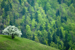 Árbol floreciente en primavera Foto de archivo libre de regalías
