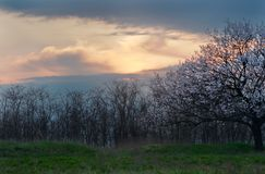 Árbol floreciente en primavera en la puesta del sol Fotos de archivo libres de regalías