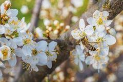 Árbol floreciente en resorte Foto de archivo