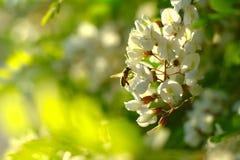 Árbol floreciente en resorte Imagenes de archivo