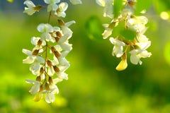 Árbol floreciente en resorte Fotos de archivo