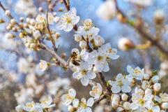 Árbol floreciente en resorte Foto de archivo libre de regalías