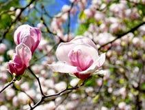 Árbol floreciente hermoso de la magnolia Fotografía de archivo libre de regalías