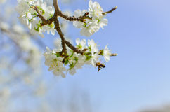 Árbol floreciente hermoso y una abeja en vuelo Imagen de archivo libre de regalías