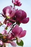 Árbol floreciente púrpura de la magnolia de Beatuful Fotografía de archivo libre de regalías