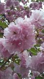 Árbol floreciente rosado Imágenes de archivo libres de regalías