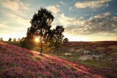 Árbol floreciente rosado de la colina y de abedul Fotografía de archivo libre de regalías