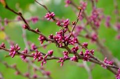 Árbol floreciente rosado hermoso en el parque de la primavera Imagen de archivo