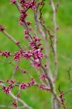 Árbol floreciente rosado hermoso en el parque de la primavera Imagen de archivo libre de regalías