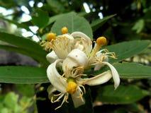 Árbol, flores y hojas de limón Fotos de archivo