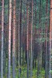 Árbol forestal del pino Fotos de archivo