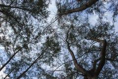 Árbol forestal, pino debajo del cielo, árbol oscuro de la imagen Visión derecho para arriba a través de árbol alto Fotografía de archivo