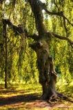 Árbol formado humano Imágenes de archivo libres de regalías
