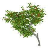 Árbol frutal aislado. Armeniaca del Prunus Fotografía de archivo