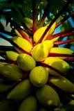 Árbol frutal amarillo de la papaya imagenes de archivo