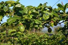 Árbol frutal de fruta de la pasión Imagen de archivo
