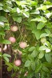Árbol frutal de fruta de la pasión fotos de archivo libres de regalías