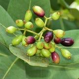 Árbol frutal de Jambolan fotos de archivo