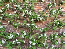 Árbol frutal de la espaldera entrenado contra una pared de ladrillo imagenes de archivo