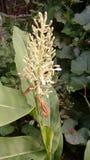 Árbol frutal de la palma Foto de archivo libre de regalías