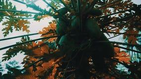árbol frutal de la papaya metrajes