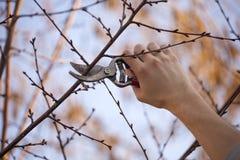 Árbol frutal de la poda - el corte ramifica en la primavera imagenes de archivo