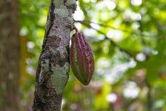 Árbol frutal del cacao en la selva tropical del Amazonas, Ecuador imagen de archivo libre de regalías