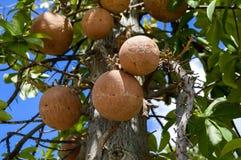 Árbol frutal del obús en jardín fotos de archivo