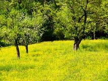 Árbol frutal del tiempo de primavera (1) y prado de la flor Imagen de archivo libre de regalías