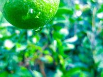 árbol frutal del verde del agua de lluvia de la vida del bokeh Imagen de archivo