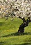 Árbol frutal en la floración Imagen de archivo libre de regalías