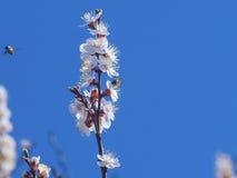 Árbol frutal floreciente agradable y abeja que vuela Foto de archivo