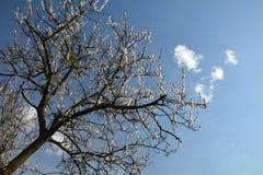 Árbol frutal floreciente contra el cielo azul y las pequeñas nubes Fotografía de archivo