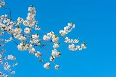 Árbol frutal floreciente de la primavera Imagen de archivo