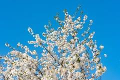 Árbol frutal floreciente de la primavera Imagenes de archivo