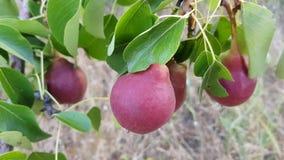Árbol frutal joven con las peras oscuras maduras de Borgoña que crecen en el jardín del verano metrajes