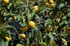 Árbol frutal, planta del limón imagen de archivo