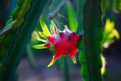 árbol frutal rojo del dragón en el jardín fotos de archivo