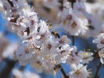 Árbol frutal y abeja florecientes agradables del defocuse Foto de archivo libre de regalías