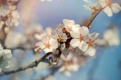 Árbol frutal y abeja florecientes hermosos de la abeja en la flor Fotos de archivo