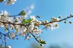 Árbol frutal y abeja florecientes hermosos de la abeja en la flor Fotografía de archivo libre de regalías
