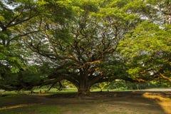 Árbol gigante conservador muy viejo en Tailandia foto de archivo libre de regalías