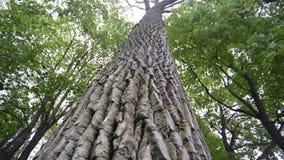 Árbol gigante en bosque almacen de metraje de vídeo