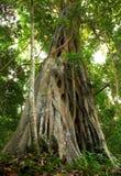 Árbol gigante en la selva tropical. imagen de archivo libre de regalías