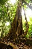 Árbol gigante en la selva tropical. imagen de archivo